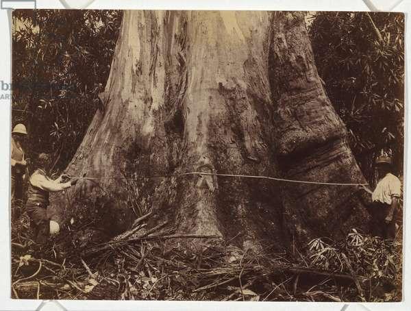 Giant tree at Neerim, forty feet girth, c.1889 (gelatin silver photo)