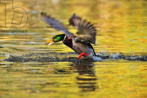 A male mallard duck takes flight in a pond at sunrise (photo)