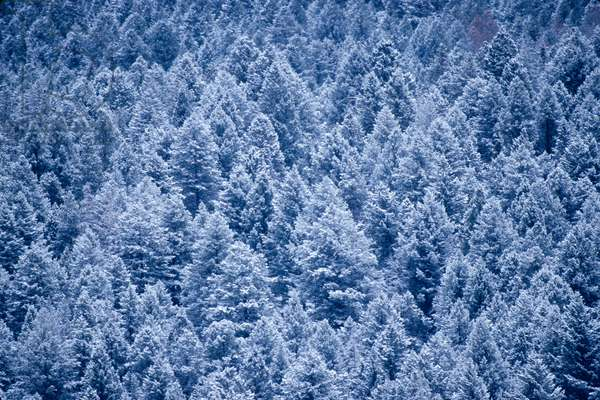 A dense forest of lodgepole pine trees (photo)