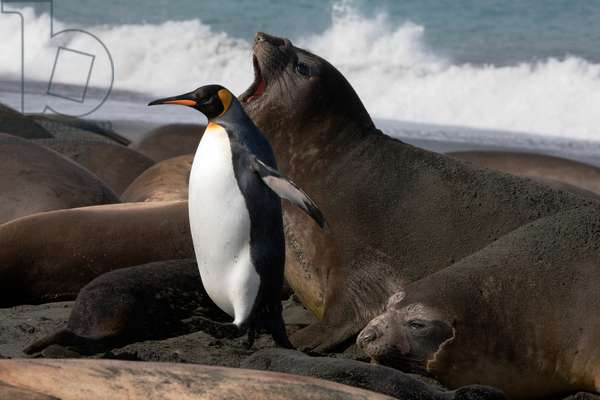 A king penguin runs the gauntlet of testy elephant seals (photo)