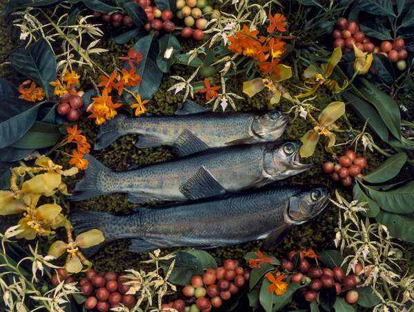 Three trout surrounded by coffee berries and orchid blossoms, Panama, 1941 (photo)