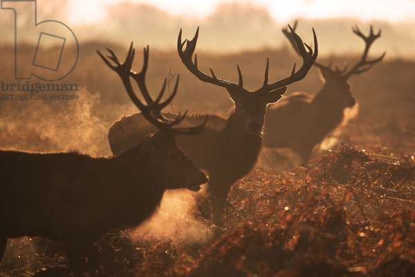 Two large deer stags', Cervus elaphus, backlit breath on an early misty morning in Richmond Park (photo)