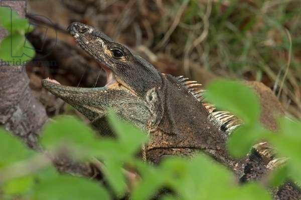 Close up of a spiny-tailed or black iguana, Ctenosaura similis (photo)