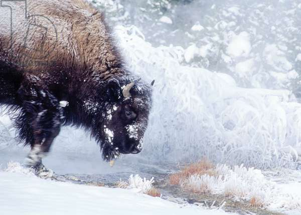 A bison cow walking in Upper Geyser Basin on a cold morning (photo)