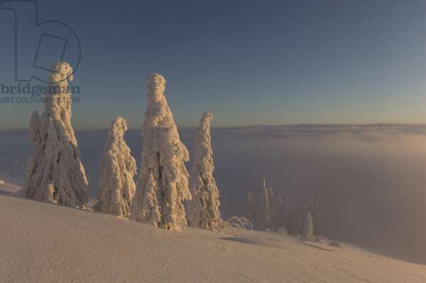 Sunrise on Arber Mountain illuminates spruce trees enveloped in frozen snow and shaped by wind (photo)