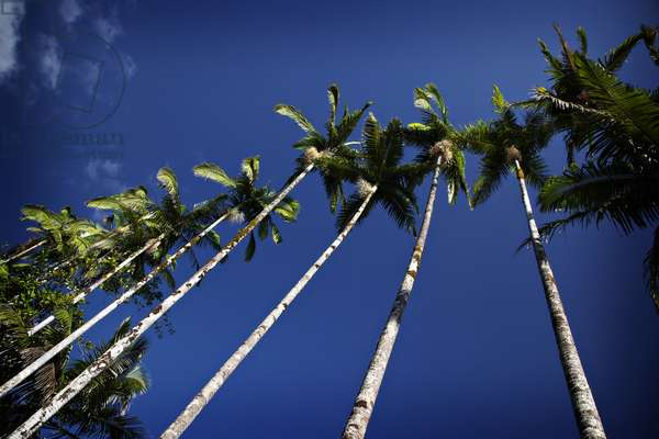 Palm trees along the coast in Hilo on the Big Island of Hawaii (photo)