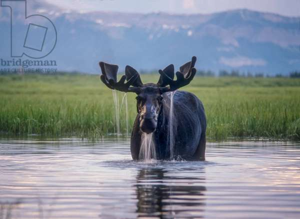 Water pours from the antlers of a bull moose lifting his head from Beaverdam Creek (photo)