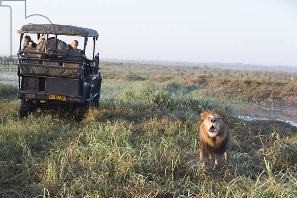 A roaring male African lion, Panthera leo, near a truck of tourists on safari (photo)
