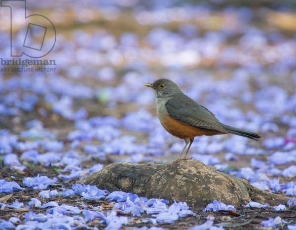A rufous bellied thrush, Turdus rufiventris, surrounded by purple petals in Ibirapuera Park (photo)