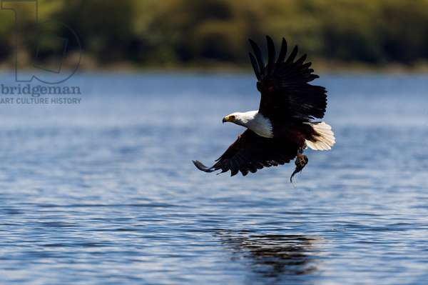 An African fish eagle snatches a fish from the surface of a freshwater lake with its long talons (photo)