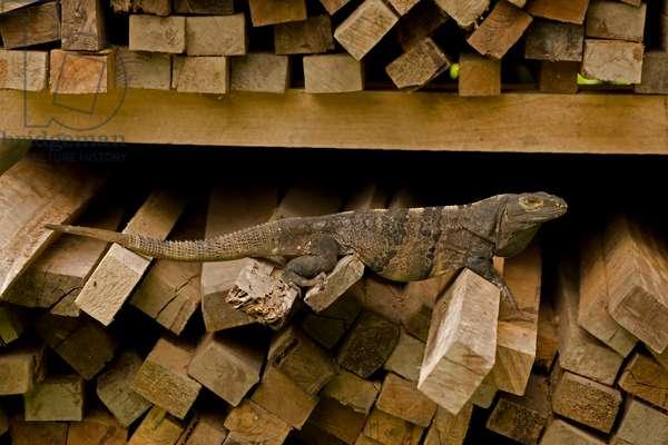 A spiny-tailed iguana, Ctenosaura similis, in wood pile (photo)