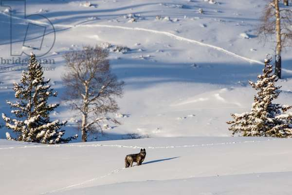 A grey wolf, a member of the Druid Peak wolf pack that claims the Lamar Valley in Yellowstone (photo)