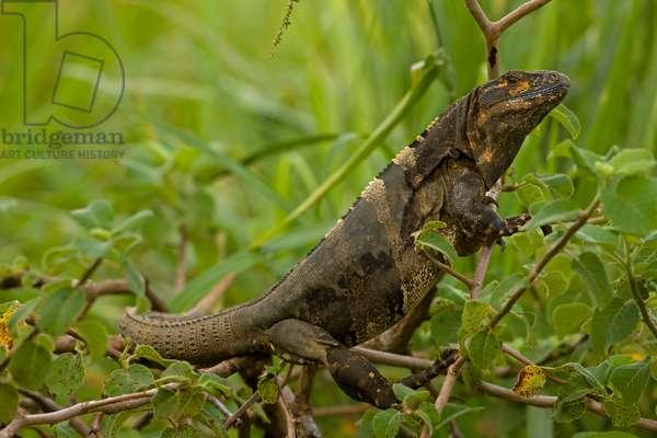 A spiny-tailed iguana, Ctenosaura similis, in a shrub (photo)