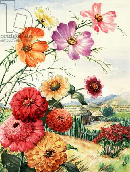 Cosmos, zinnias and poinsettia grow in Oaxaca, Mexico (colour litho)