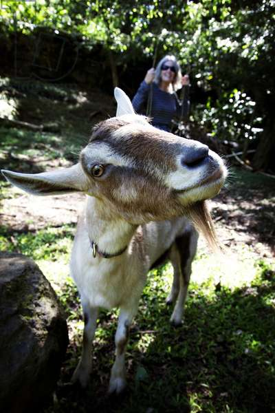 A smiling goat on a farm in Hawaii (photo)