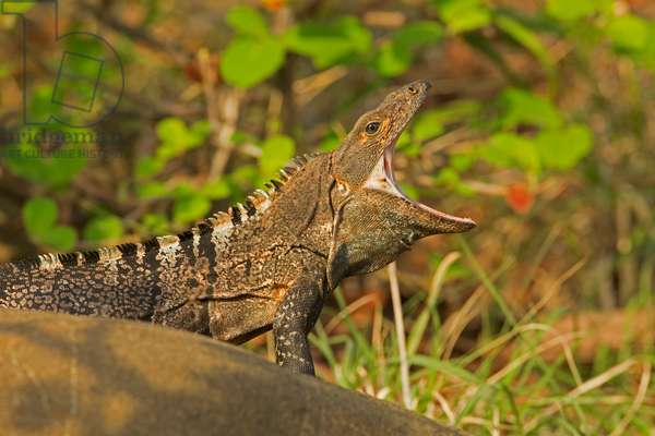 Portrait of a spiny-tailed or black iguana, Ctenosaura similis, with its mouth open wide (photo)