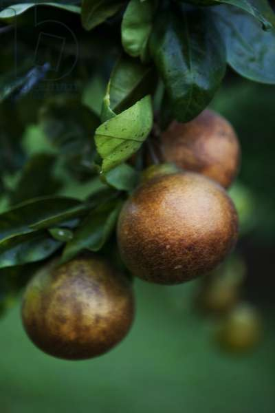 Pear fruit ripening on a tree in an orchard overlooking the Waipi'o Valley on Hawaii Island (photo)