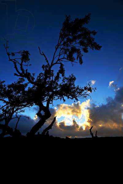 A lonely tree rises from the harsh lava of central Hawaii, on the road to Mauna Kea Observatory (photo)