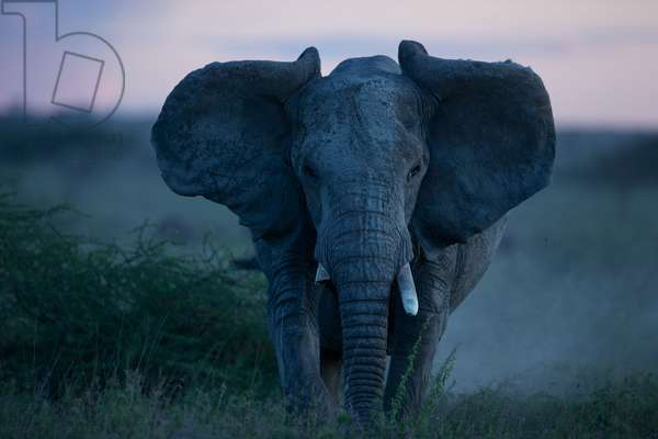 An African elephant matriarch charges (photo)