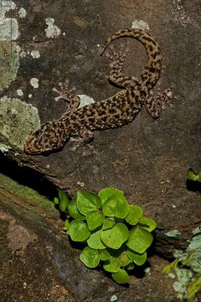 A yellow-bellied gecko, Phyllodactylus tuberculosus, on a rock (photo)