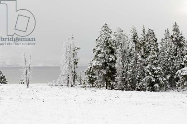 Snow-covered evergreen trees along the shore of Yellowstone Lake (photo)