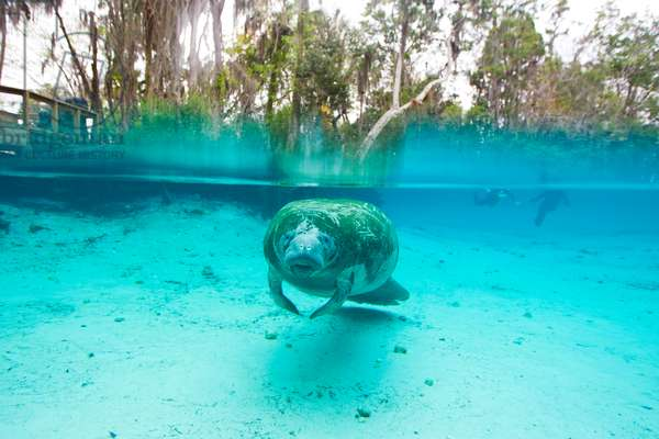 Tourists in the distance approaching a Florida manatee in clear water (photo)