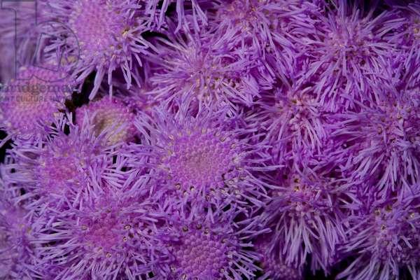 Mass of purple aster flowers (photo)