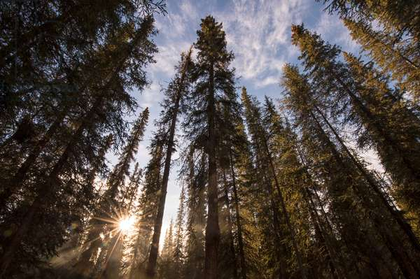 Sunlight streaming through a forest of evergreen trees (photo)