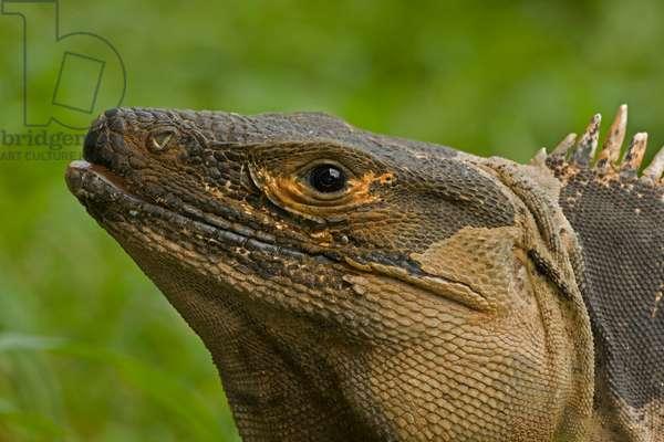 Close up portrait of a spiny-tailed iguana, Ctenosaura similis (photo)