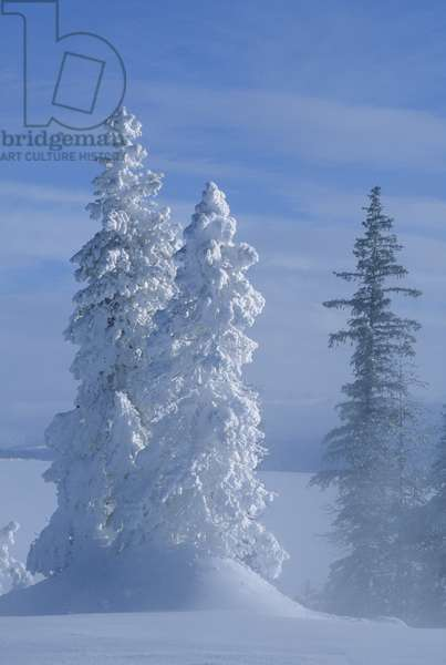Frost covered trees and snow pillows along the West shore of Yellowstone Lake and West Thumb (photo)