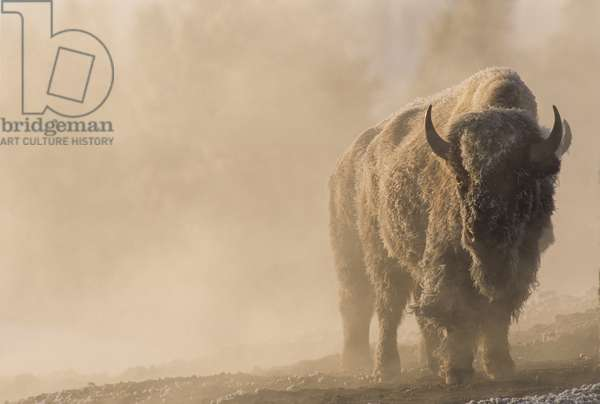 A frost covered bison stands in a steamy landscape Yellowstone National Park, Wyoming (photo)