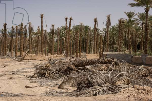 A dropping water table and water restrictions has affected the date palm crop in Al-Mudaybi, Oman (photo)