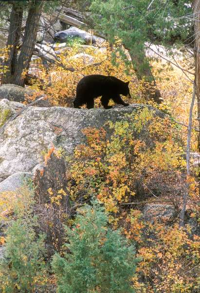 A black bear forages for rose hips and leafy plants along the Yellowstone River (photo)