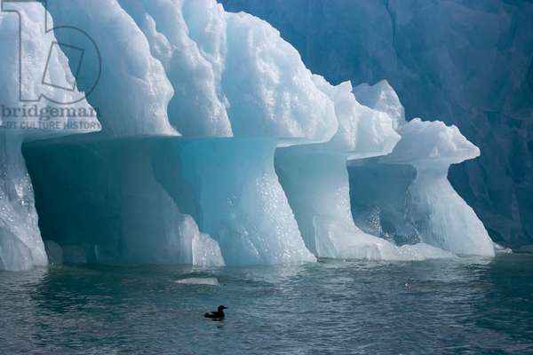 A kittiwake under an iceberg with an overhang formed by wave action (photo)