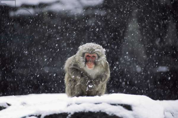A snow monkey in captivity