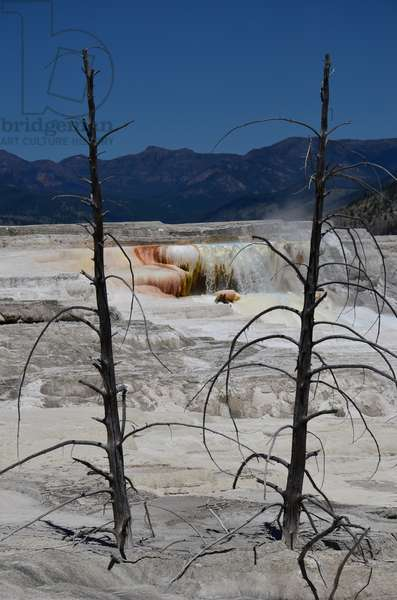Dead pine trees buried in the mineral deposit terraces at Mammoth Hot Springs in Yellowstone National Park, Wyoming (photo)