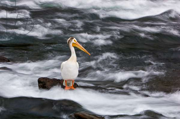 A white pelican watches for spawning cutthroat trout on a rock at the edge of LeHardy Rapids (photo)