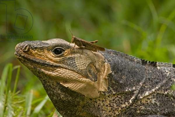 A spiny-tailed iguana, Ctenosaura similis, with a grasshopper (photo)