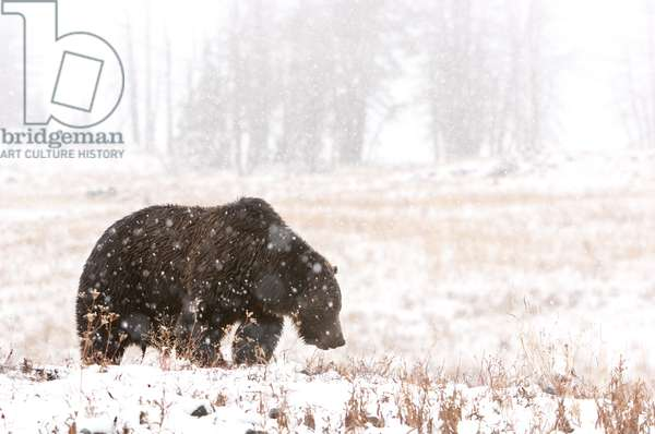A grizzly bear in a snowstorm (photo)