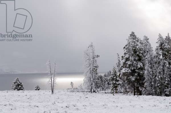 Snow-covered evergreen trees on the shore of Yellowstone Lake (photo)