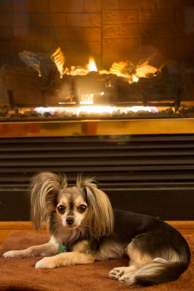 A two-year-old male long hair chihuahua warms himself in front of a fireplace (photo)