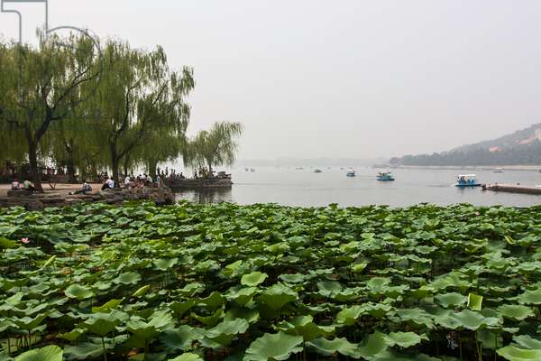 Lotus water lilies growing near shore in Kunming Lake, near the Summer Palace (photo)