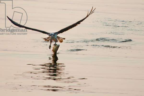 An osprey plucks a fish from the Occoquan River (photo)