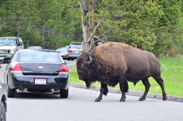 A lone buffalo crosses a road filled with vehicles in Yellowstone National Park, Wyoming (photo)