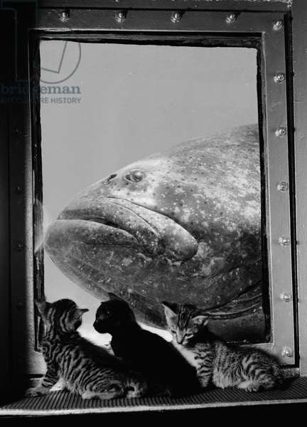 A grouper is examined by three kittens at Marineland in 1938, St. Augustine, Florida, 1938 (b/w photo)