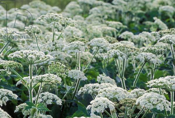 Clusters of tiny white flowers adorn the tops of the Cow Parsnip (photo)
