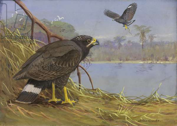 Two adult Common Black Hawks, 1933 (w/c on paper)
