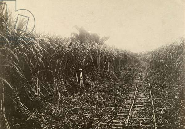 A man stands in a sugarcane field, Taiwan, 1920 (b/w photo)