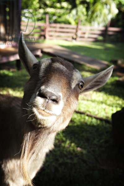A curious goat peers into the camera lens (photo)