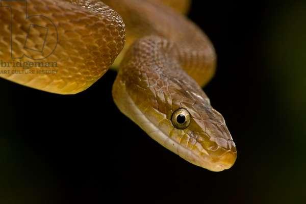 Close up of a tropical rat snake, Senticolis triaspis (photo)